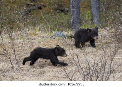 Two Black bear cubs (Ursus americanus) playing in a forest, Jasper National Park, Alberta, Canada