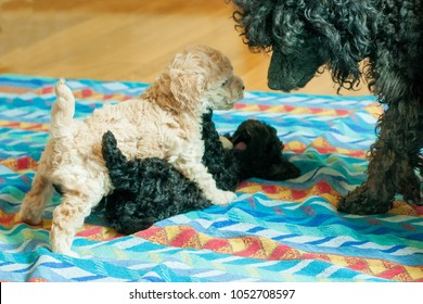 two black and beige puppies playing on the litter