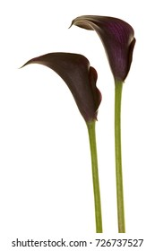 Two black calla lilly flowers isolated on a white background
