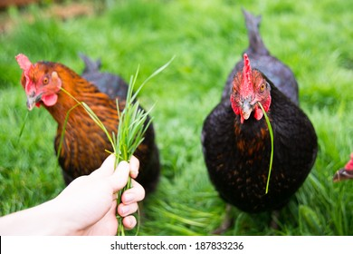 Two Black Chickens Being Fed Fresh Green Grass