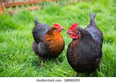 Two Black Chickens Grazing on Fresh Green Grass in Backyard