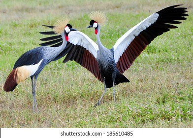 Two Black Crowned Canes performing mating dance. Tanzania, Ngorongoro, East-Africa.