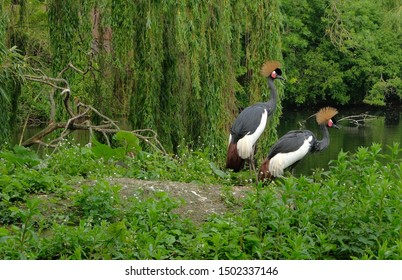 Two black crowned cranes on meadow in wood avifauna netherlands