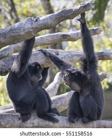 Two black furred siamangs are sitting together on tree branches.  One siamang with a  large throat sac is howling at the other.