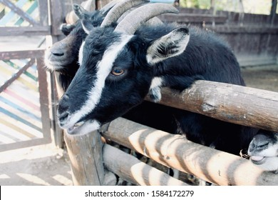 Two black goats stuck their head into a brown wooden fence. Horned animals in the background of the household yard, close-up, side view. Sunny autumn day.