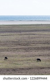 Two black grazing sheep in a wide plain grassland at the swedish island Oland in the Baltic Sea