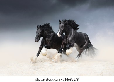 Two black horses of the Shail rock race along the sand against the sky. Two free horses