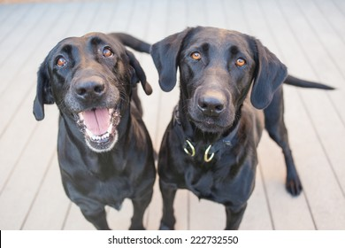 Two black Labrador retriever dogs on a wooden deck