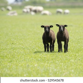 two black lambs in grassland, the Netherlands