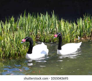 Two black necked swan swimming in the river