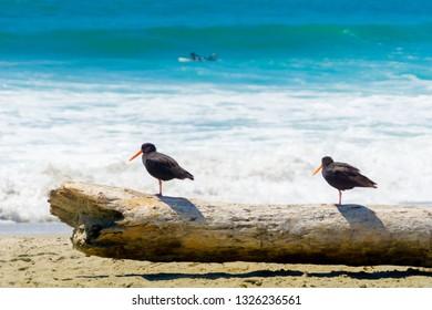 Two black oystercatchers on log on beach watching the sea and surfers on Main Beach Mount Maunganui, Tauranga New Zealand