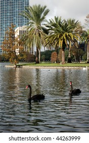 Two black swan swimming across the Eola Lake, Orlando, Florida, USA