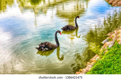 Two black swans on water. Black swans water. Two black swans romantic scene. Black swans view