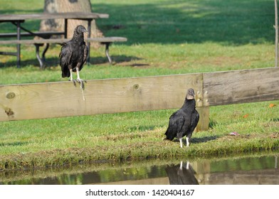 Two black vultures bask in the morning sun. One bird is perched on a wood rail.  The other turkey vulture stands on the grass lawn at the edge of water. The vulture is reflected in the water.