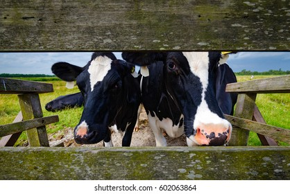 Two black white cows at farm fence