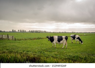 Two black with white cows in the foreground of a large Dutch meadow next to a ditch. The cows have horns. It's just raining from the dark clouds in the sky. The photo was taken in the Alblasserwaard.