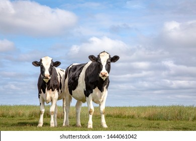 Two black and white cows, friesian holstein, standing in a pasture under a blue cloudy sky and a faraway straight horizon on the isle Schiermonnikoog.