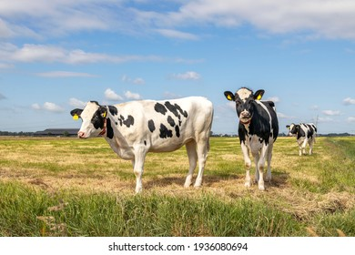 Two black and white cows, frisian holstein, standing in a pasture under a blue sky and horizon over land.