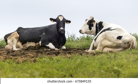 Two black and white cows sitting in the field. Horizontal Composition