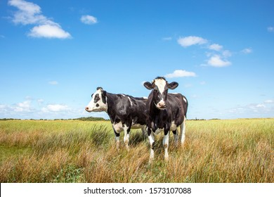 Two black and white cows standing in the salt marshes of Schiermonnikoog under a blue sky and a faraway straight horizon.
