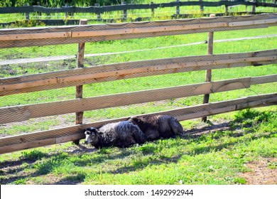 Two black and white small sheep laying on the ground next to a wooden fence made out of planks on a lush grass and covering themselves from hot sun seen on a Polish countryside on a warm day away