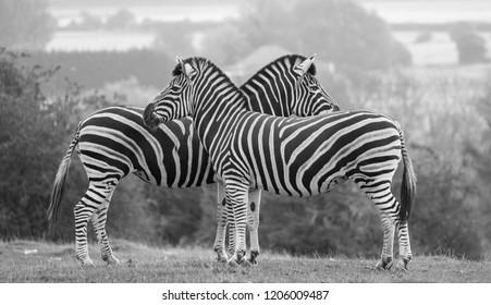 Two black and white striped chapman zebras, photographed in monochrome at Port Lympne Safari Park, Ashford, Kent UK