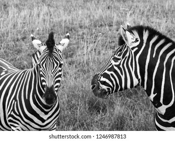 Two black and white striped chapman zebras, photographed in monochrome at Port Lympne Safari Park, Ashford, Kent UK