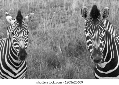 Two black and white striped zebras in the grass, photographed in monochrome at Port Lympne Safari Park, Ashford, Kent UK
