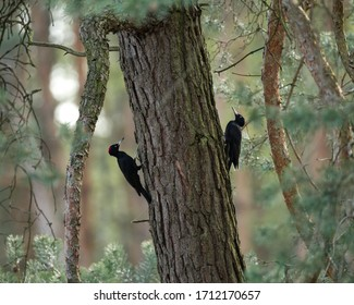 Two black woodpeckers on a tree in the forest