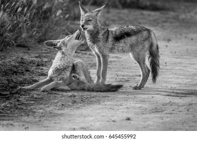 Two Black-backed jackals bonding in black and white in the Central Kalahari, Botswana.