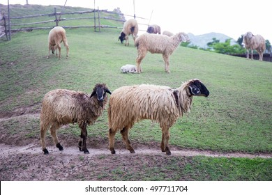 two blacknose sheeps on green grass field and group of sheeps background