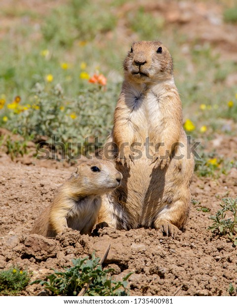 Two Black-tailed Prairie Dogs in Southwestern Oklahoma