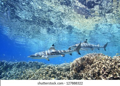 Two Blacktip Reef Sharks, Carcharhinus melantopterus, swimming over shallow corals  with the surface above. One shark has a slender suckerfish, or remora, Echeneis naucrates, attached to its side.
