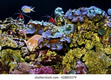 Two blood red fire shrimp and mushroom coral in an aquarium.