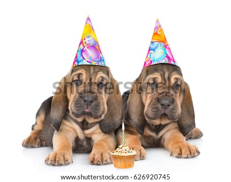 Two Bloodhound Puppies In Birthday Hats With Cake Lying Together Isolated On White Background
