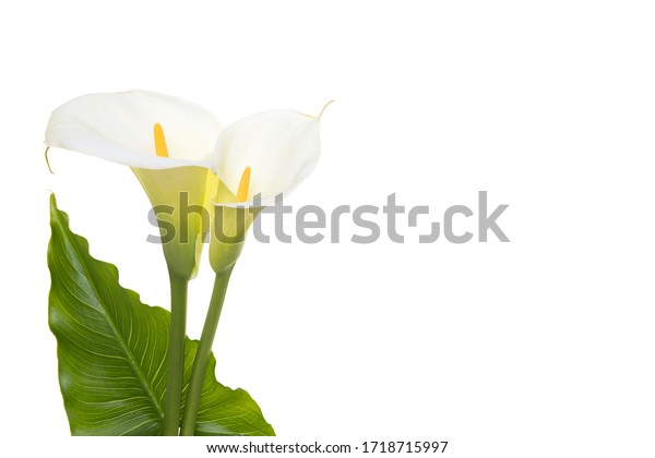Two blooming calla lilly flowers with green leaf isolated on a white background with copy space