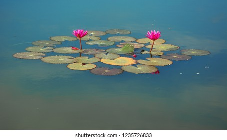 Two Blooming lotuses on water surface of a pond. Thailand