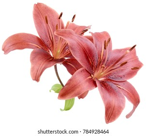 two blooming red Lily flower isolated on white