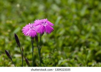 Two blooms of a pink dianthus plant with a blurred green grass background.