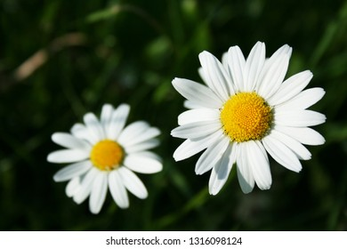 two blossoms of corn chamomile, (mayweed, scentless chamomile, field chamomile, Anthemis arvensis) on dark bokeh background