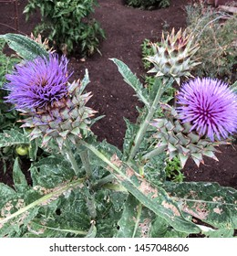 Two blossoms on a cardoon plant