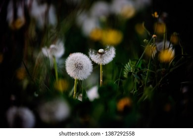 Two blowball dandelions in a field of weeds. The seeds of one of the dandelions have already been blown away.