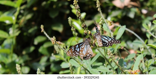 Two blue and black butterflies