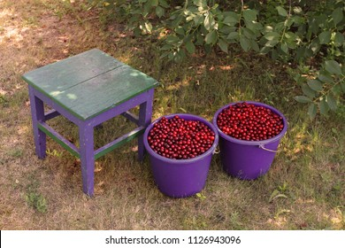 Two blue buckets with a red cherry berry and an old stool. Gathering berries in the garden
