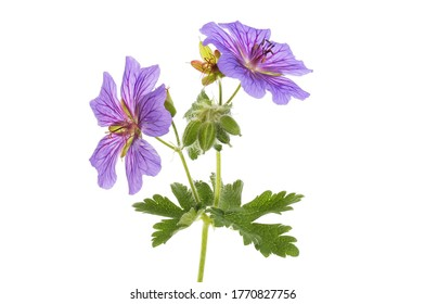 Two blue geranium flowers, buds and foliage isolated against white