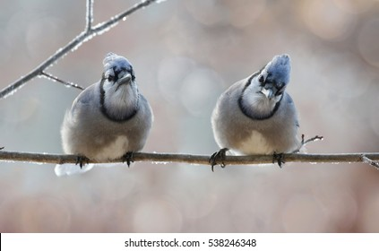 two blue jays resting during winter