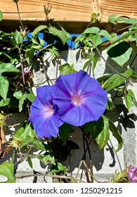 Two blue or purple angel trumpets or Datura
