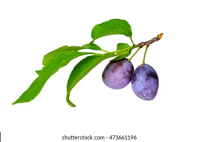 Two blue ripe plums hanging on a branch with green leaves isolated on white background.
