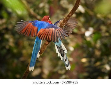 Two blue and rufous magpies with long tail, Ceylon Blue Magpie, Urocissa ornata. Female fly to feed juvenile one, perched on mossy branch in Sinharaja forest against   green forest background.