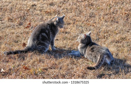 Two blue tabby cats ready to engage in a play fight, on dry winter grass